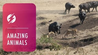 Download Hero Buffalo Saves Calf From Pride Of Lions Video
