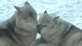 Download 冬のシンリンオオカミ〜Pair of Eastern timber wolf Video