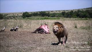 Download Scar2 aka Joker , the Sand River male, Maasai Mara lions Video