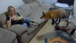 Download Red fox behaving around pizza Video