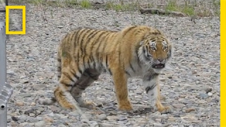 Download Siberian Tiger Rescued From City Streets, Returned to Wild   National Geographic Video