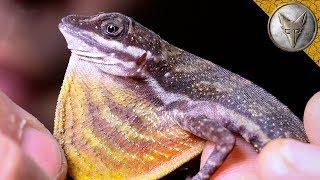 Download ELUSIVE Waterfall Lizard! Video