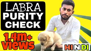 Download How to Check Labrador Puppy Purity in hindi    Pure Labra    Pure breed    Video