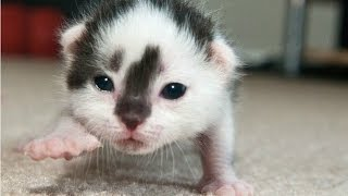 Download Cute Newborn Kittens Learning To Walk Compilation || NEW HD Video