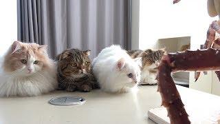 Download 고양이들 앞에 거대한 킹크랩이 나타났어요! Video