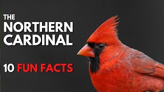 Download 10 Fun & Interesting Facts About Northern Cardinals Video