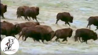 Download Fabulous Animals: Champion of the Prairie - The Bison Video