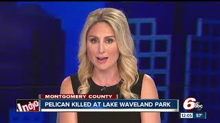 Download 'Heartbreaking': Pelican shot and killed in Montgomery County park Video
