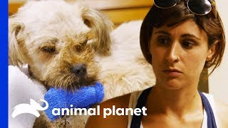 Download Vets Rush To Save Sick Dog In Critical Condition | Pit Bulls & Parolees Video