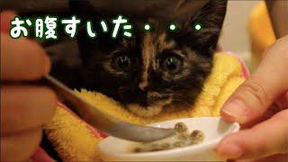 """Download 赤ちゃん猫救出劇の直後!鳴きながらご飯編。おそらく2日ぶりくらいのご飯 Rescue kitten saying """"YUM YUM"""" while eating Video"""