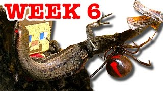 Download Deadly Redback Spider Home Week 6 Lizard Fights Back & Gonzo (Very Graphic Video) Video