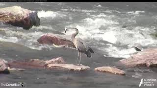 Download Great Blue Heron Strikes a Fish in Clark Fork River – August 22, 2017 Video
