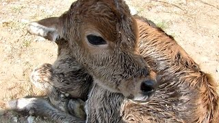 Download Newborn calf dumped still wet with afterbirth rescued Video