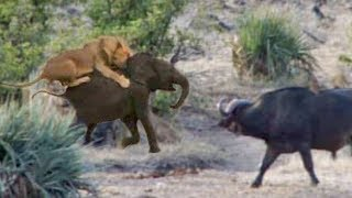 Download Buffaloes Rescue Baby Elephant from Lions Video