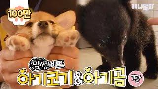 Download 혼내다가도 아빠미소:) 아기 웰시코기와 아기곰은 말썽베프 | SBS 동물농장x애니멀봐 Video