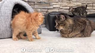 Download Scary puffy kitten won't back down! TinyKittens Video
