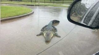 Download Hurricane Harvey warning: Beware of alligators Video