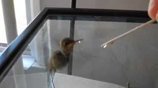 Download How to raise a baby hummingbird part 2 of 6 Video