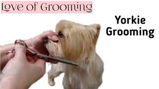 Download Grooming a Pet Yorkies head Video