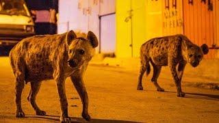 Download Des hyènes envahissent une ville - ZAPPING SAUVAGE Video