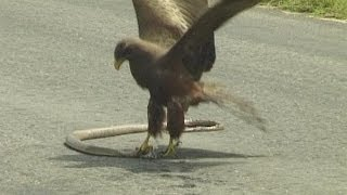 Download Snake killed by Tawny Eagle on the road in Kruger National Park. Video