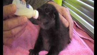 Download Ellie 'Orphaned otter cub' being bottle fed.wmv Video