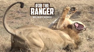 Download Lion Drama In The Mara: Big Lion Grabs A Sub-Adult Video