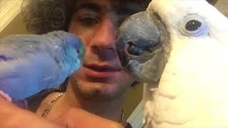 Download Bird preening-Joseph was preening Tiago 😍😍😍 Video
