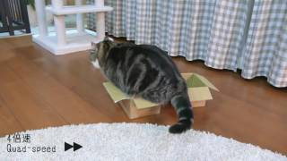 Download 選べないねこ。-Maru can't choose!.- Video