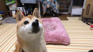 Download 柴犬小春ライブ Video