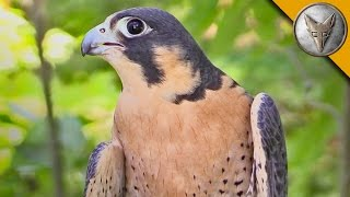 Download Peregrine Falcon is the Fastest Animal in the World! Video
