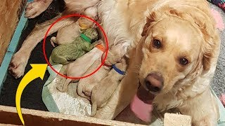 Download Golden Gives Birth To Rare Puppy, Only 3 Known To Have Ever Existed Video