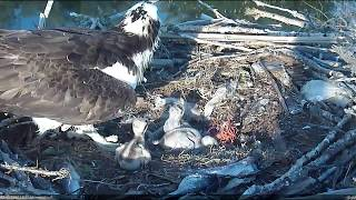 Download 5/28/17 #1 aggression toward mom and #3 - Boulder County Osprey Cam Video