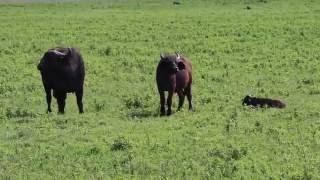Download Hyena killing and eating new born buffalo calf Video