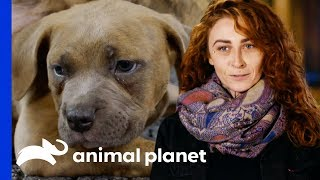 Download Puppies Caleb & Hannah Take Their First Steps | Pit Bulls & Parolees Video