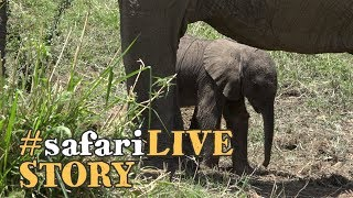 Download A baby elephant's struggle for life Video