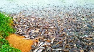 Download Hybrid Magur Fish Farming Business In India || Million Catfish Eating Food In Poond ||হাইব্রিড মাগুর Video
