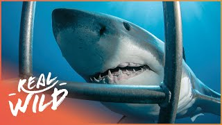 Download White Sharks Outside The Cage [Shark Documentary]   Wild Things Video