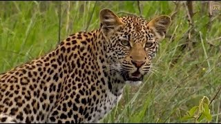 Download Safari Live : Leopards Thandi, Shadow and Shadows Cub on drive this morning with Steve Jan 13, 2018 Video