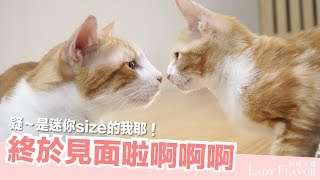 Download 大貓跟小貓終於見面了!好緊張喔!【好味貓日常】EP17 Video
