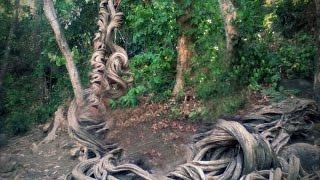 Download Pohon Raga Sakti di Cimandung Cirebon Girang: Seram Namanya Unik Pohonnya Video