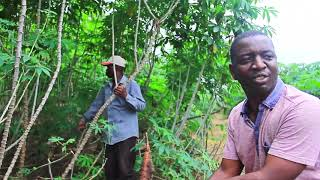 Download Largest Cassava Farming with Processing and Modern Agriculture in Africa, Niji Farms Video