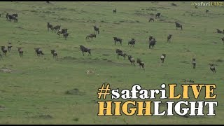Download Malaika and her boys take down a wildebeest in the Mara! Video