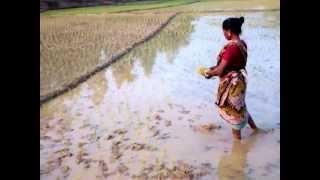 Download Rice Farming in Bangladesh Video