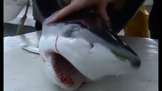 Download Tagging blue sharks | Sharks | BBC Earth Video