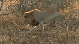 Download SafariLive, The 6 Nkuhuma lion cubbies and their daddy or uncle. Video