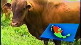 Download Principales razas de bovinos en México Parte 2 Video