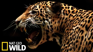 Download Un jaguar attaque un caïman - Animal Fight Club Video