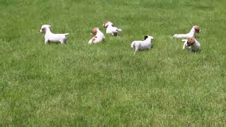 Download Jack Russell Puppies For Sale Ivan King Video