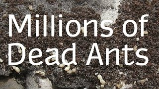 Download How to Get Rid of Ants Naturally - Best Way Video